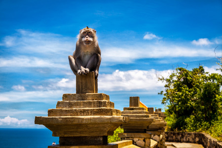 monkey-leader guards territory