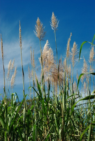 Sugarcane plants bending in the wind with blue sky photo