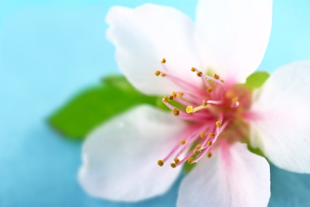 stigmate: Closeup of anthers and stigma of a peach blossom (Very Shallow Depth of Field, Focus on some of the anthers and the stigma)