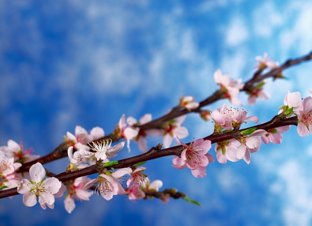 Peach branch in full bloom with blue background (Selective Focus, Focus on the blossoms in the front) photo