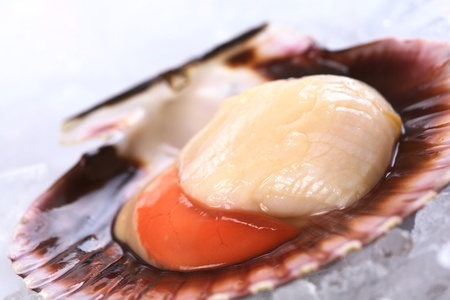 Raw queen scallop (lat. Aequipecten opercularis) on ice (Selective Focus, Focus the front of the scallop's meat)