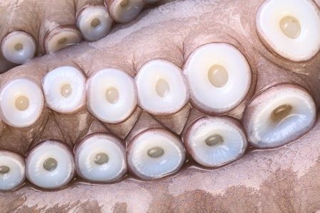suction: Suction cups (suckers) on the tentacles of a raw octopus  Stock Photo