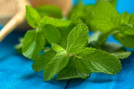 carminative: Peruvian Muna medicinal plant Stock Photo