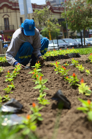 miraflores district: LIMA, PERU - FEBRUARY 1, 2012  Unidentified gardener planting flowers in the park Parque Kennedy in the district of Miraflores on February 1, 2012 in Lima, Peru  The Municipality of Miraflores invests a lot into keeping its public spaces nice and clean fo