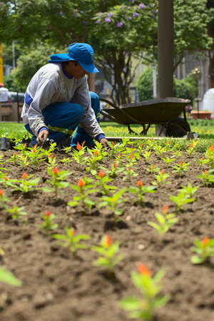 miraflores: LIMA, PERU - FEBRUARY 1, 2012  Unidentified gardener planting flowers in the park Parque Kennedy in the district of Miraflores on February 1, 2012 in Lima, Peru  The Municipality of Miraflores invests a lot into keeping its public spaces nice and clean fo