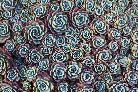 pollitos: Tiro de arriba de houseleek com�n (lat. Sempervivum) plantas suculentas, tambi�n llamado liveforever y la gallina y los pollitos