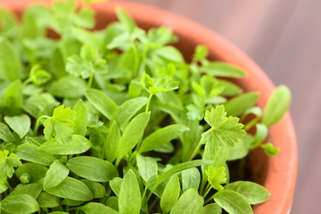 Many small parsley seedlings in pot (Very Shallow Depth of Field, Focus one third into the image)