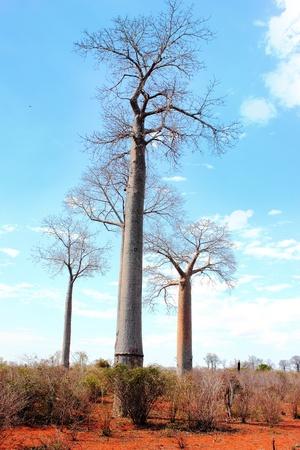 adansonia: Baobab (Adansonia grandidieri) in a deforested landscape, Madagascar