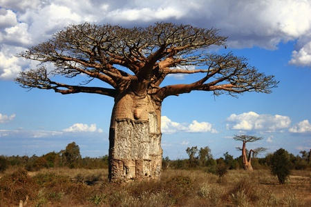 baobab: big baobab tree in savanna, blue sky and grey clouds