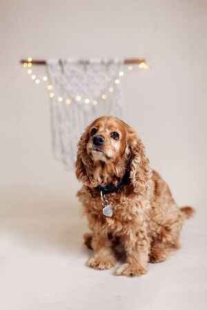Young golden cocker spaniel sitting on neutral cream background with handmade macrame on background