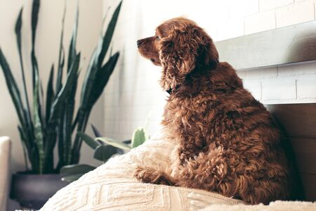 Small golden cocker spaniel puppy on top of the pillow on the bed