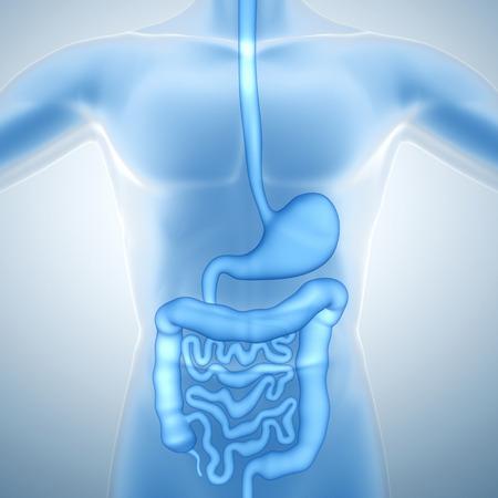 sistema digestivo: Sistema digestivo humano Foto de archivo