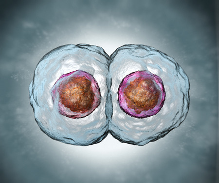 Mitosis. Stage two