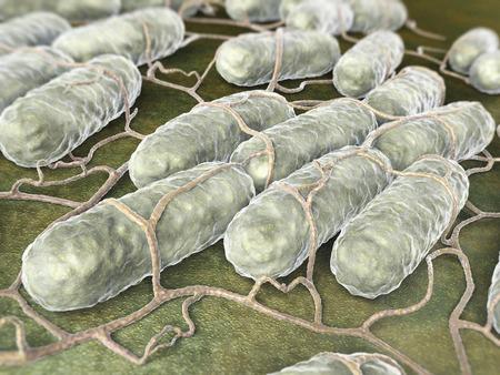 monella: Cultura de las bacterias Salmonella Foto de archivo