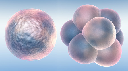 Embryo in two stages Standard-Bild