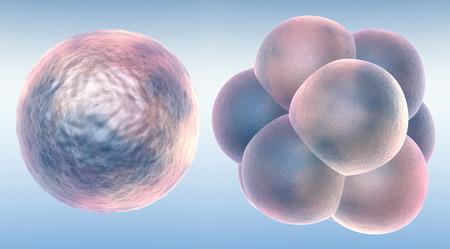 Embryon en deux étapes Banque d'images - 34301543