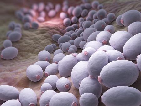 Candida albicans is een diploïde schimmel die groeit zowel als gist en draderige cellen en een veroorzaker van opportunistische orale en genitale infecties bij de mens