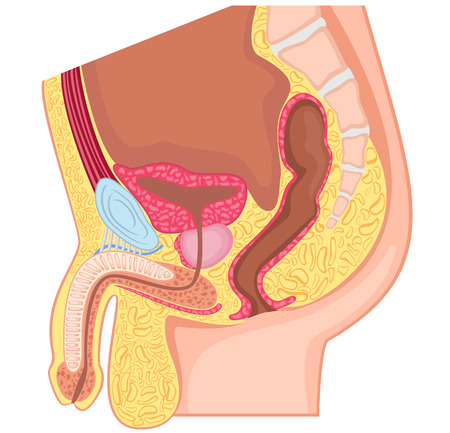 reproductive: Male reproductive system median section Illustration