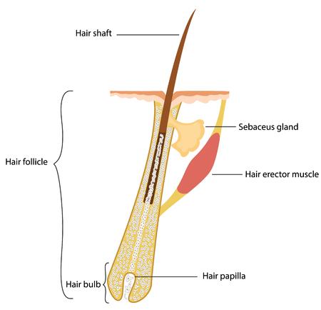 ひと毛髪の構造  イラスト・ベクター素材