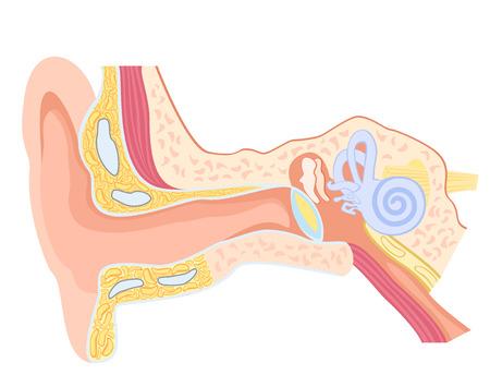tambor: anatomía básica del oído humano Vectores