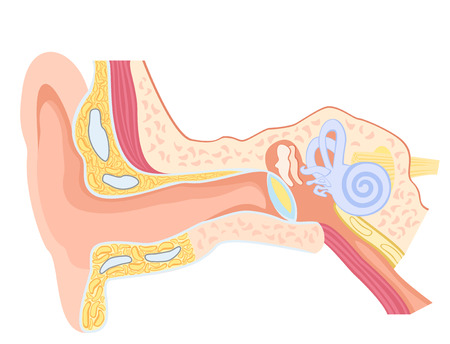 Basic anatomy of the human ear