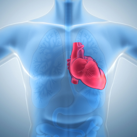 human heart: Coraz?n humano