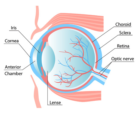 Human eye structure scheme medical vector illustration