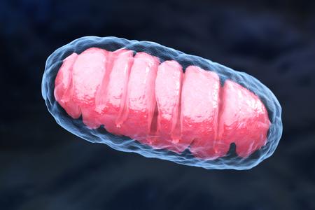 ミトコンドリオンは、すべての真核生物に見られる二重膜結合小器官である。3Dイラストレーション