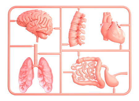 Model kit set with spare internal organs. isolated on white. 3D illustration