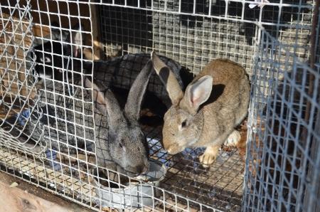 hutch:  Rabbits in hutch