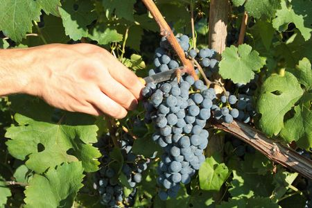 Grape harvesting in italian vineyard photo