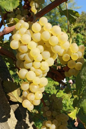 Closeup on grape bunch growing in grapevine Stock Photo - 7845724