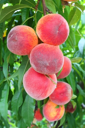 orchard: peaches on a tree between green leaves
