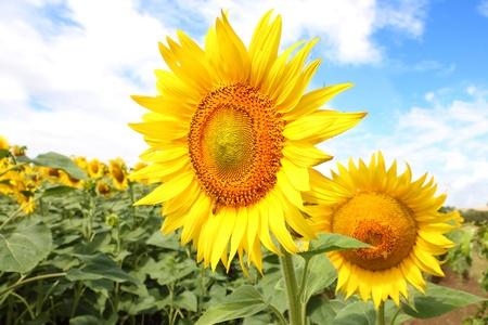 meadow of big yellow sunflowers Stock Photo - 10071830