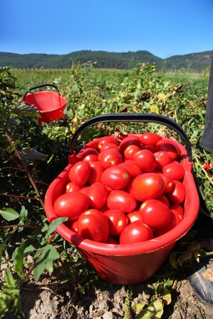 basket full of red tomatoes in green field Stock Photo - 10232100