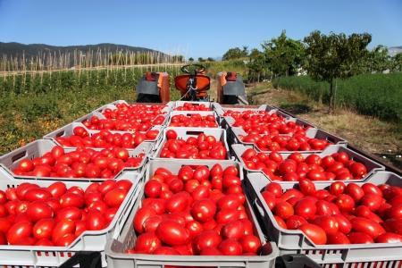 pomidory: świeże czerwone pomidory załadowane na ciągniku w zielonym polu