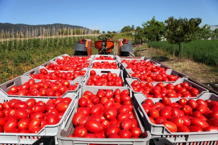 crop growing: fresh red tomatoes loaded on tractor in green field