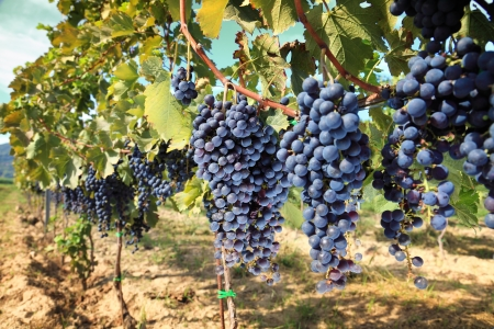 grape harvest: rows of wine grapes in chianti area, tuscany. Italy