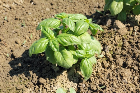 fresh basil on soil closeup photo