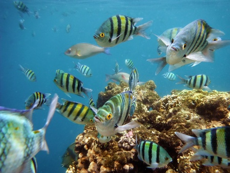 School of tropical sergeant major fish, red sea in Sharm El Sheikh photo