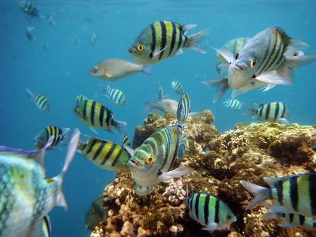 School of tropical sergeant major fish, red sea in Sharm El Sheikh