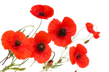 Red poppies over a white background photo
