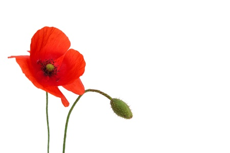 poppy leaf: Single decorative Red poppy flower on white background