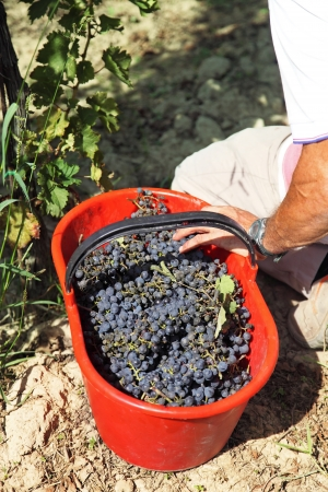 hand basket: Bucket of picked grapes in vineyard in Tuscany Chianti area, Italy Stock Photo
