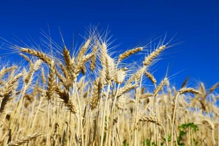 Golden wheat field against blue sky photo