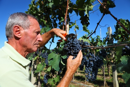 winemaking: farmer harvesting a  bunch of grapes in tuscany