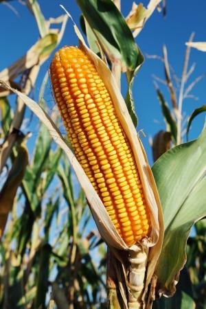 planta de maiz: Primer plano de la planta de maíz amarillo fresco