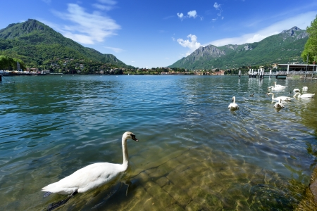 Como lake from Lecco city with swans, Italy.