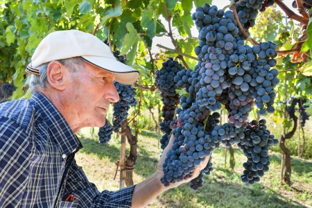 Senior wine-maker checking the quality of grapes photo