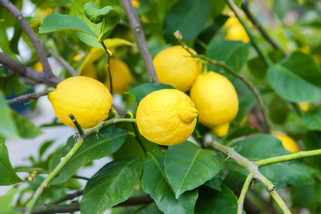 ripe lemons hanging on a tree photo